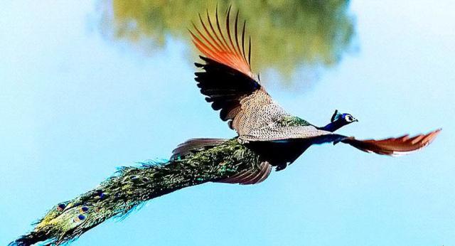 birds, peacock in flight 3