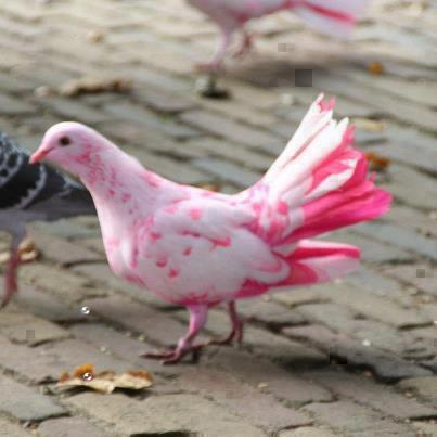 pink pigeon, manzaralar