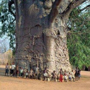 2000 years old tree in South Africa known as tree of life (Baobab)