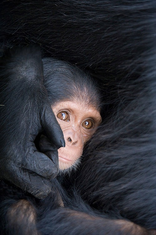 animals, 6 mo. old chimp