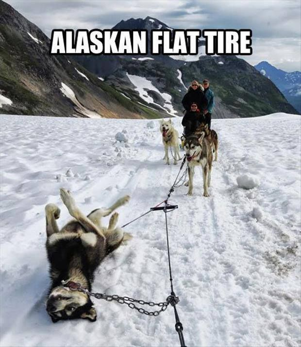 animals, alaskan flat tire