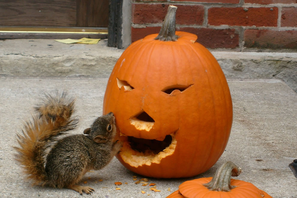 animals, pumpkin