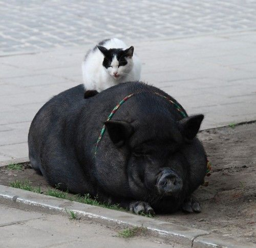 mixed species, cat and hog