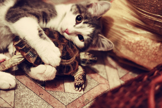 mixed species, cat and turtle