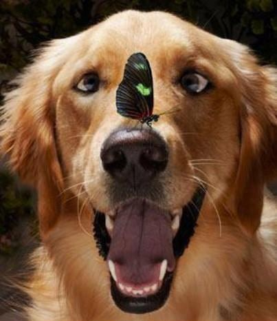 mixed species, dog and butterfly, louise