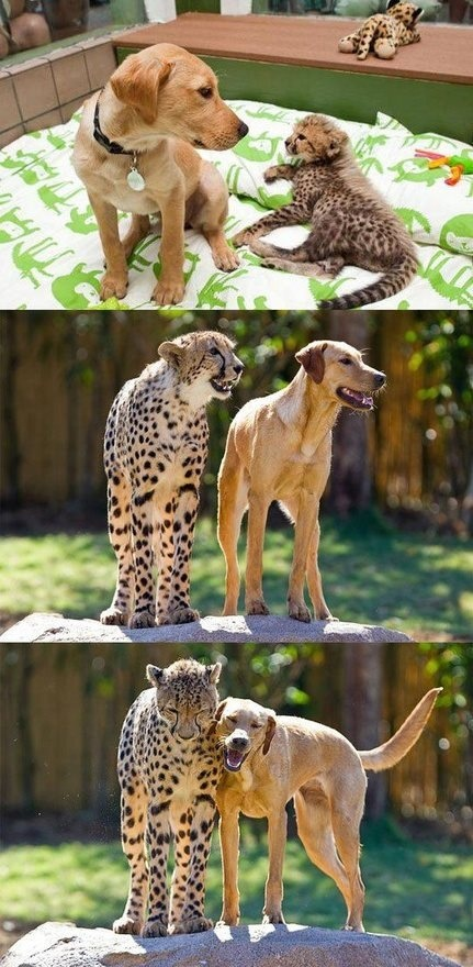 mixed species, dog and cheeta