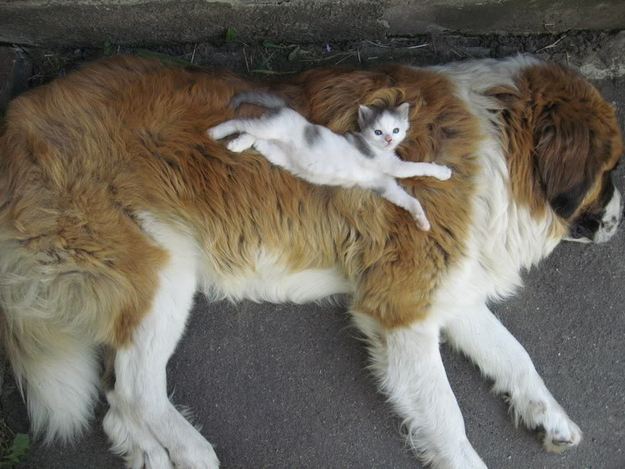 mixed species, kitten and st. bernard