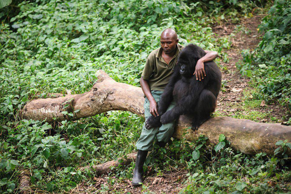 mixed species, man and gorilla