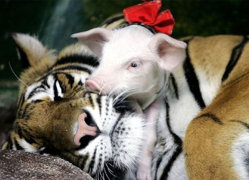mixed species, pig and tiger