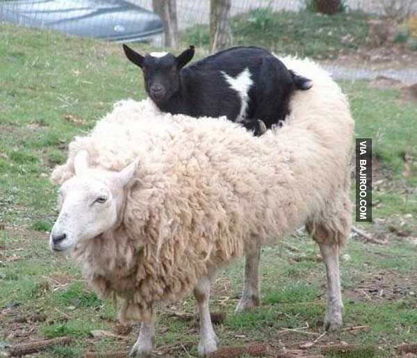 mixed species, sheep and goat