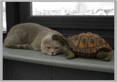 mixed species, turtle and cat