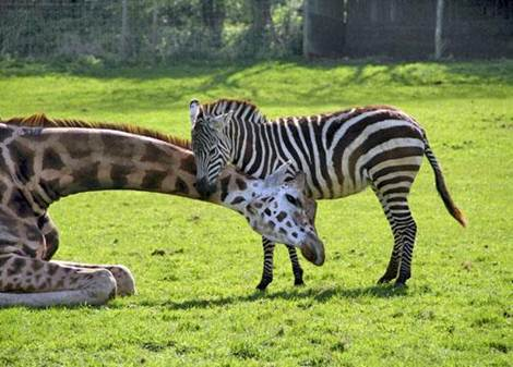 mixed species, zebra and giraffe