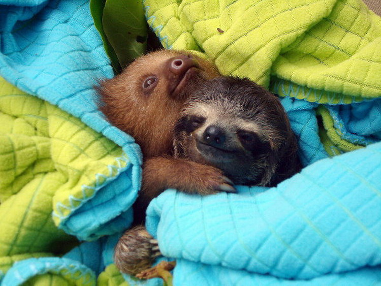sloths-cuddling-between-blankets-big