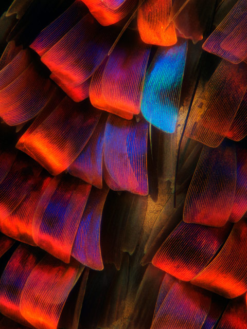 Madagascan Sunset moth by  Maidstone, U.K., Laurie Knight