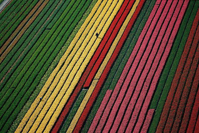 Fields of tulips near Amsterdam, The Netherlands