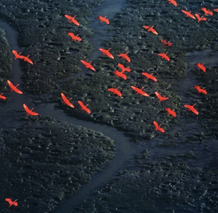 Flock of Scarlet Ibis