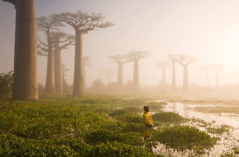 Madagascar's ancient forest of baobab trees