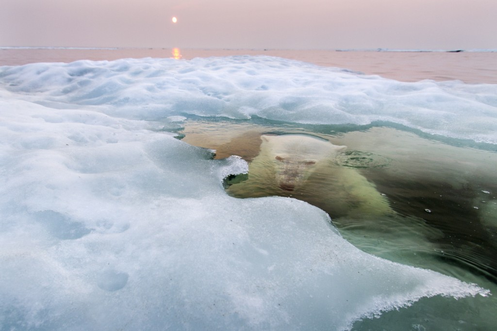 This image won grand prize from National Geographic for 2013 by Paul Souders, Seattle, Washington.  A polar bear peers up from beneath the melting sea ice on Hudson Bay as the setting midnight sun glows red from the smoke of distant fires during a record-breaking spell of hot weather.  The Manitoba population of polar bears is the southern-most in the world.
