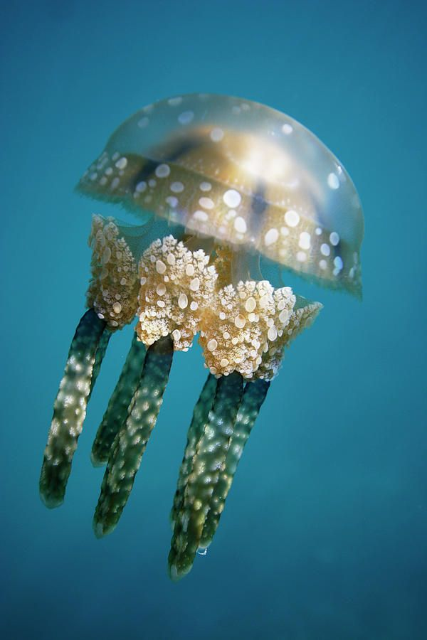 Papuan Jellyfish - ©Hiroya Minakuchi via pinterest