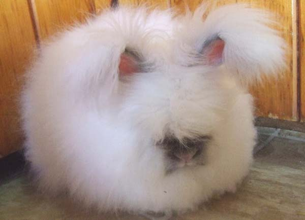 Another angora rabbit