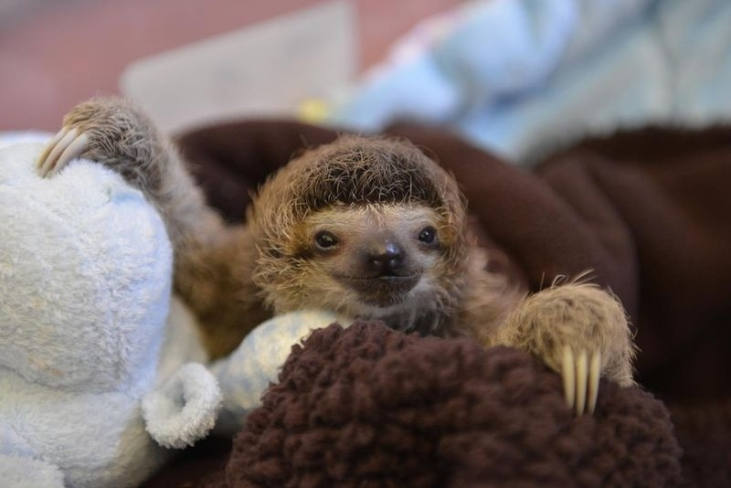 animals, baby sloth
