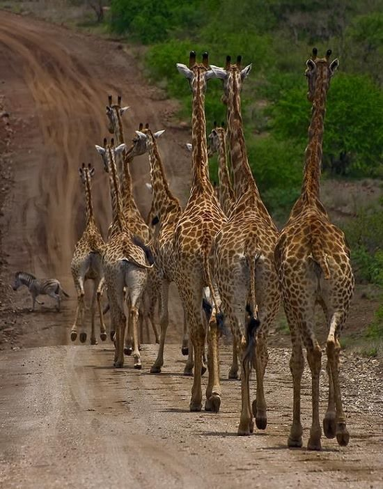animals, giraffes
