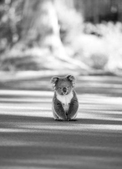animals, koala