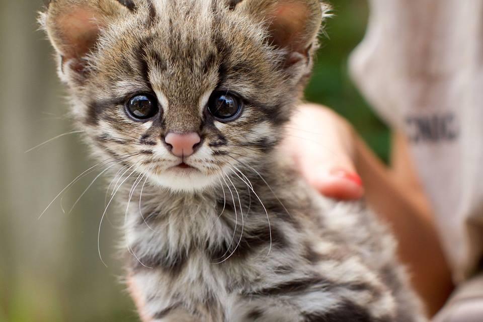 Oncilla kitten
