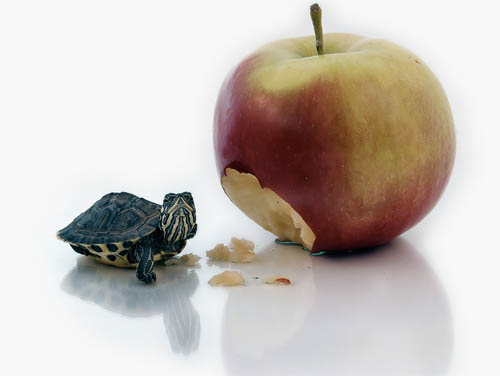 animals, turtle and apple