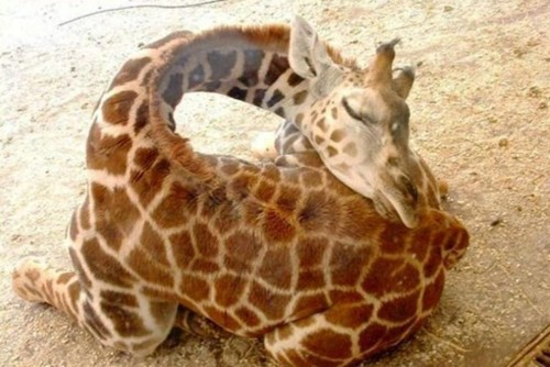 sleep, giraffe