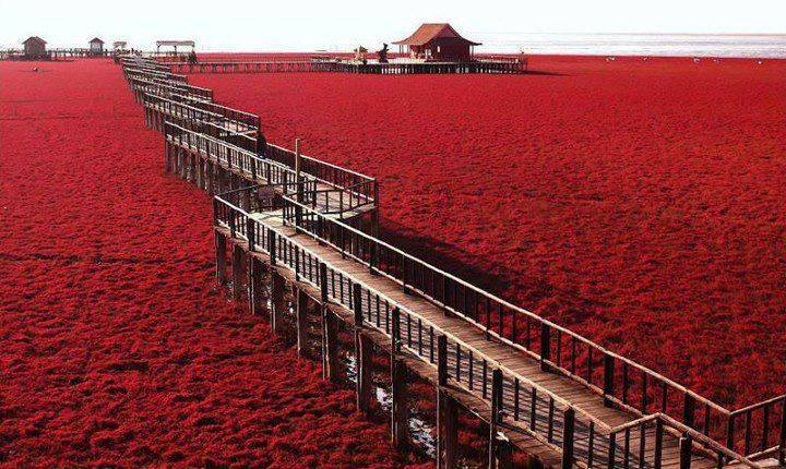 Liaohe River Delta,  the Red Beach. Not far from Panjin City, China