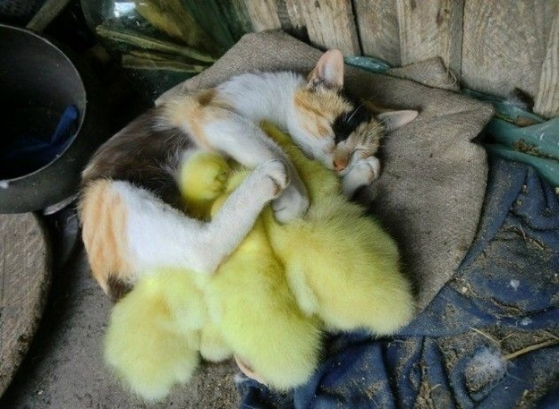 mixed species, cat and ducks