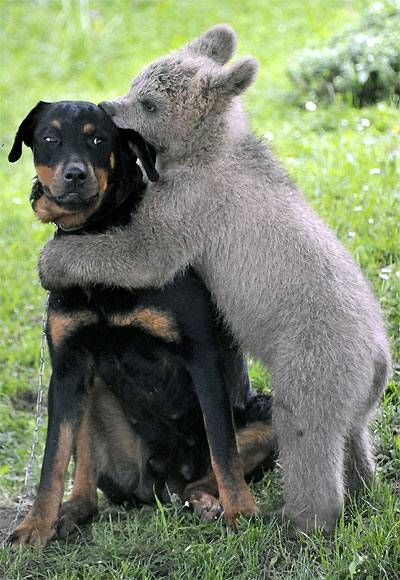 mixed species, dog and bear