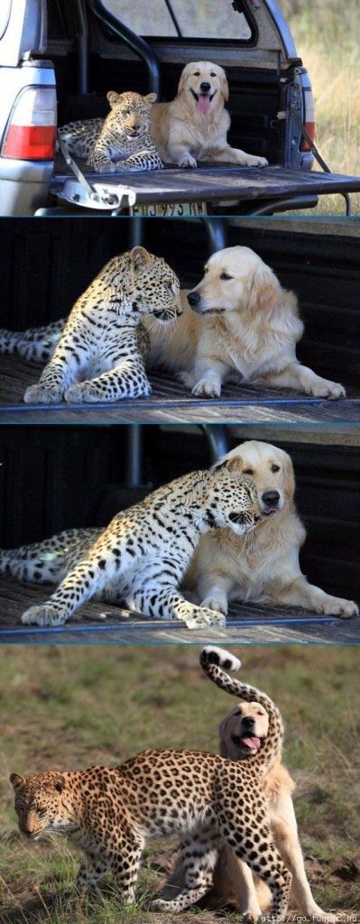 mixed species, dog and leopard or cheeta