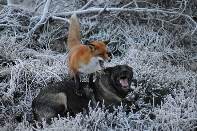 mixed species, fox and dog, louise