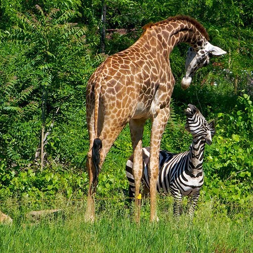 mixed species, giraffe and