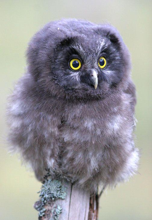 animalsl, owl