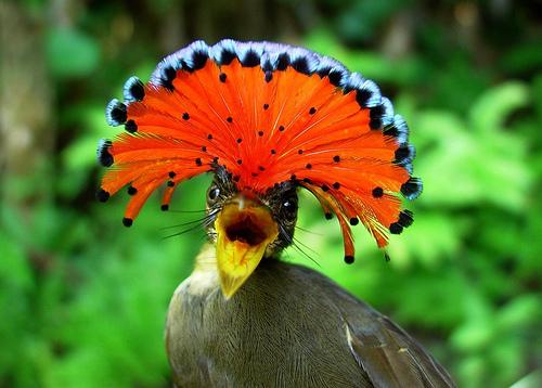 The Amazonian Royal Flycatcher