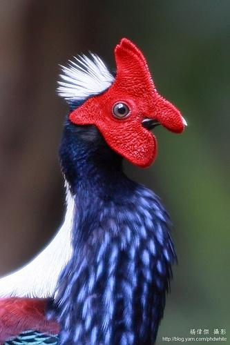 Swinhoe's Blue Pheasant, by phd white,