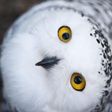 owls can't move their eyes so they move their heads.