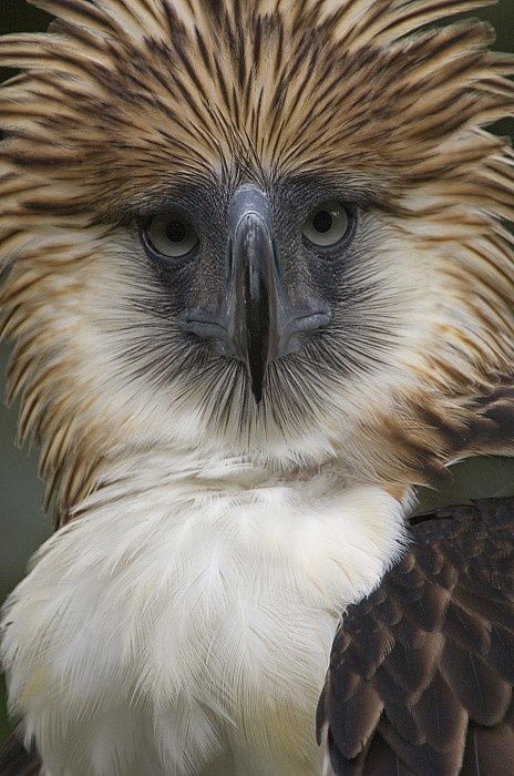 Philippines Eagle - by Klaus Nigge