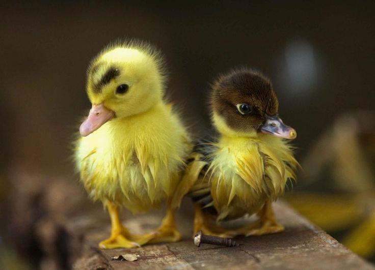 animals, ducks