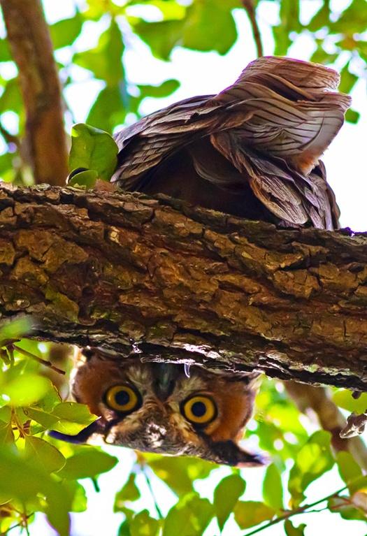 animals, owl