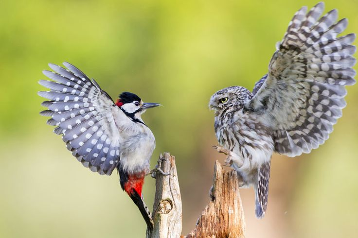 A Little Owl defends its feeding position from a Great spotted woodpecker by Ian Schofield