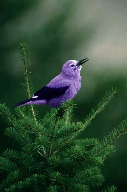 birds, purple