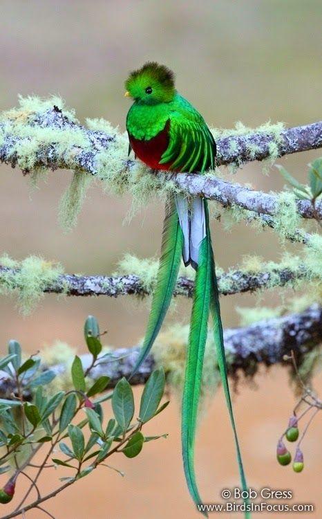 quetzal, by Bob Gress