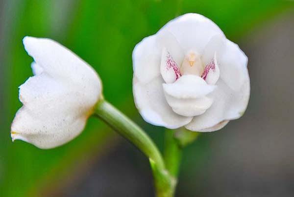 Dove Orchid (Peristeria Elata) 2