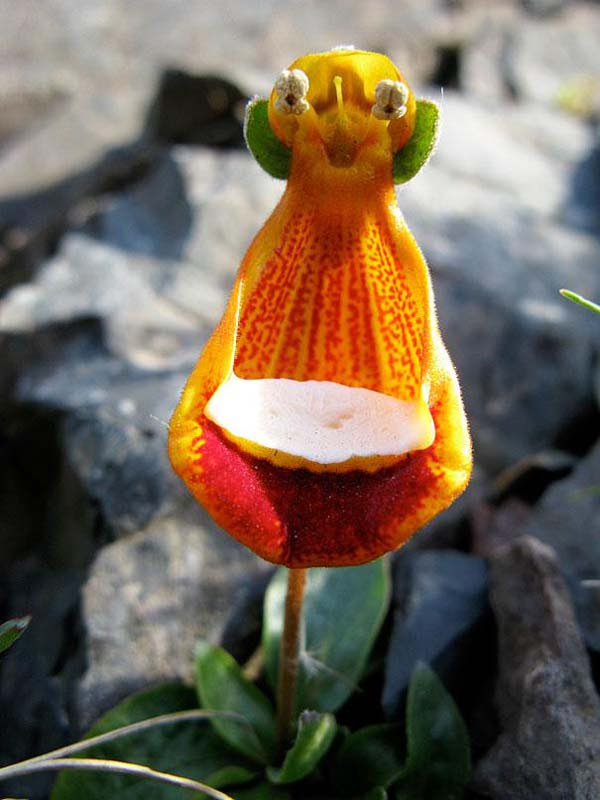 Happy Alien (Calceolaria Uniflora) by  Serge Ouachee