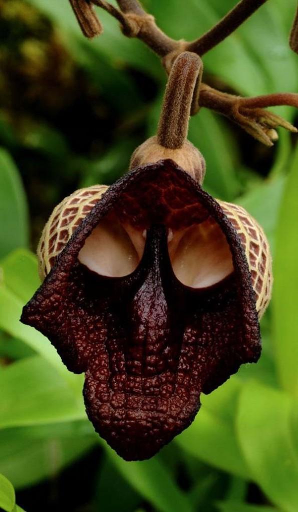 Darth Vadar orchid by tentoonstelling
