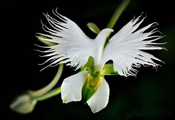 White egret orchid by Rachel Scott-Renouf